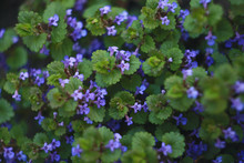 Purple Flowers Of Glechoma Hederacea. Other Names Are Nepeta Glechoma, Nepeta Hederacea - Ground-ivy, Gill-over-the-ground, Creeping Charlie, Alehoof, Tunhoof, Catsfoot, Field Balm, And Run-away-robin