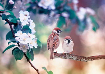 Panel Szklanytwo little funny sparrow birds are sitting on a branch against the background of a blossoming branch of an apple tree in a spring garden in May