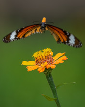 Stripped Tiger Flying To The Flower.