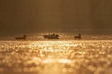 Wild Ducks Swim On A Morning L...