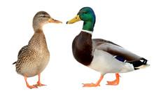 Mallard Duck Closeup Of A Drak...