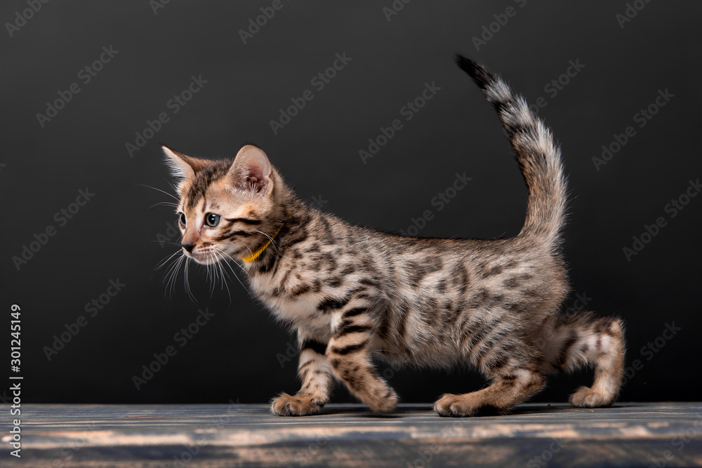 Fototapety, obrazy: Beautiful Bengal cat breed on a black background