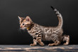 Beautiful Bengal cat breed on a black background