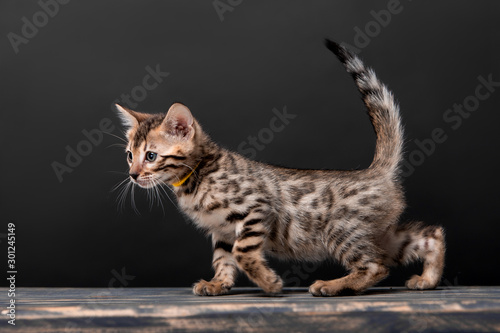 In de dag Kat Beautiful Bengal cat breed on a black background