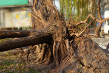 A Torn Young Tree With Roots F...