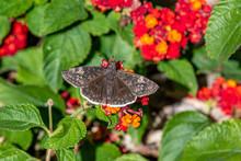 Duskywing Butterfly In October On Texas Lantana