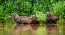 Capybara Family In The Grass B...