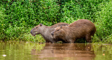 Two Capybaras In The Grass By The River. Close-up. Brazil. Pantanal National Park. South America.