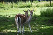 Two Cute Deer Standing On Green Grass.