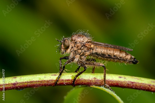 Papiers peints Papillon Macro shot of a robber fly