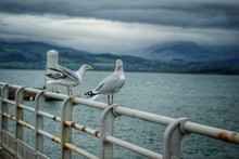 Pair Of Seagulls On Pier