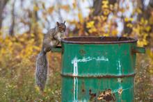 Eastern Gray Squirrel (Sciuru...