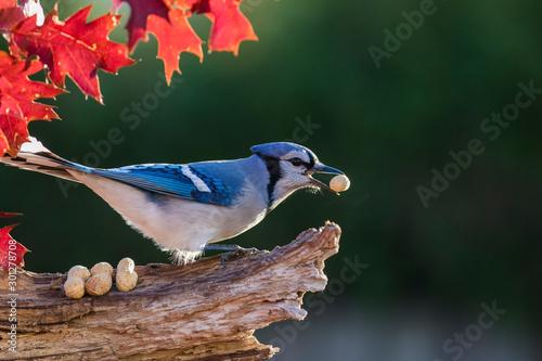 Stampa su Tela Blue jay in fall
