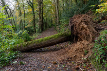 Large Uprooted Tree Fallen Across Footpath In Cornwall Because Of High Storm Force Winds