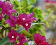Dark Pink Flower In The Garden