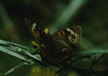 Buckeye Butterfly (Junonia Coe...