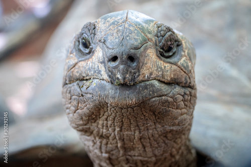 Fotografie, Obraz close-up of  100 years old tortoise