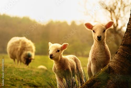 Young lambs sheep tree baby sheep wallpaper