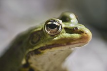 Closeup Of The Head Of A Frog With Big Eyes