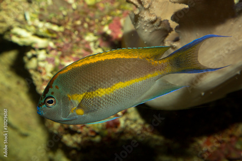 Bellus angelfish, ornate angelfish (Genicanthus bellus ), male. Wallpaper Mural