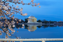Thomas Jefferson Memorial With Reflection In A Quiet Dawn Hour Of A Cherry Blossom Festival In US Capital City. A Close-up Cherry Branch With Flower At Tidal Basin Reservoir In Washington DC, USA.