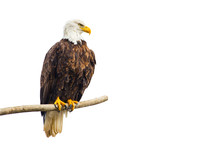 Wild Bald Eagle (Haliaeetus Leucocephalus) Perched On A Dead Tree Brach, Isolated On A White Background.