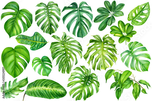Fototapety, obrazy: tropical leaves on an isolated background, a large set of green plants, watercolor, painting, botanical illustration, floral design,  palms, monstera, ficus