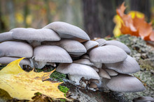 Edible Oyster Mushroom In Autu...