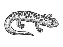 Salamander Lizard Animal Sketc...
