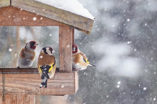 Obraz Beautiful winter scenery with European Finch birds in the bird house within a heavy snowfall - fototapety do salonu