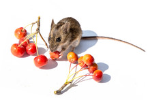 The Ural Field Mouse (Apodemus...
