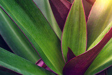 Green Leaves Pattern With Drop Of Water,leaf Tradescantia Spathacea Or Boat Lily, Candle Lily  In The Garden