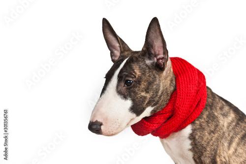 Billede på lærred Dog breed mini bull terrier in a red scarf portrait isolated on a white backgrou