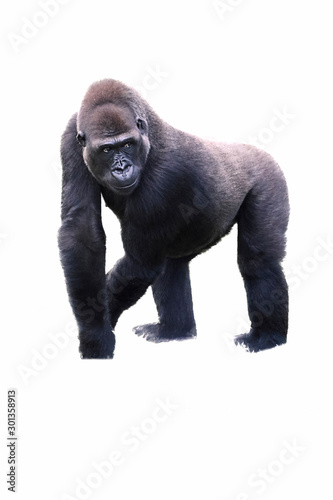 young male silverback gorilla walking on all fours. Canvas Print