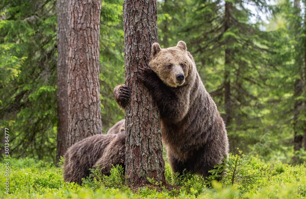 Fototapety, obrazy: Brown bear standing on his hind legs. She-bear and cubs in the summer forest. Natural Habitat. Brown bear, scientific name: Ursus arctos. Summer season.