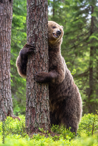 Fényképezés  Brown bear stands on its hind legs by a tree in a summer forest