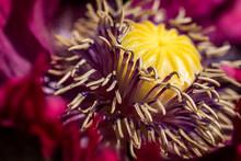 Poppy Centre Close-up