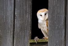 Barn Owl (Tyto Alba) Peeking Out Of A Farm Building.  Taken In The Mid-Wales Countryside UK.