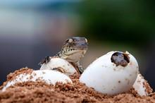 Nile Crocodile Baby, Hatchling, Eggs, Newborn, Hatching