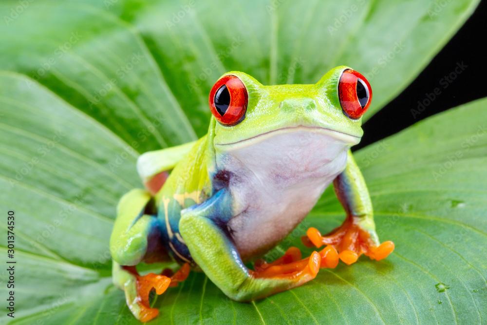 Fototapeta Red Eyed Tree Frog,  Agalychnis Callidryas, on a Leaf with Black Background