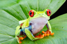 Red Eyed Tree Frog,  Agalychni...