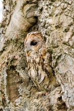 Tawny Owl (strix Aluco) Sitting On An Old Rotten Oak Tree.  Taken In The Mid Wales Countryside UK
