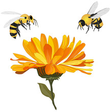 Beautiful Blossoming Yellow Marigold With Honey Bee On White Background. Calendula Officinalis. Vector Illustration...
