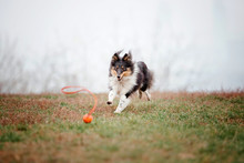 Shetland Sheepdog Running. Dog...