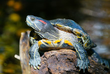 A Red-eared Slider Turtle (Tra...
