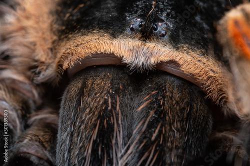 Mexican Red Knee Tarantula, Brachypelma hamorii, on a piece of cork bark Canvas Print