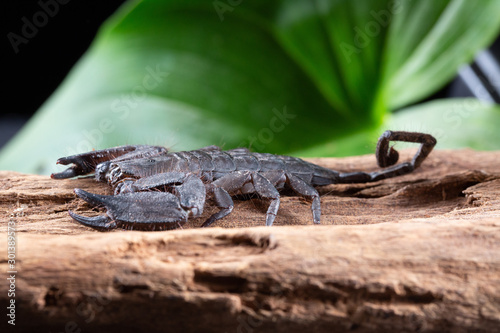 Photo Flat Rock Scorpion, Hadogenes troglodytes, on a piece of tree bark