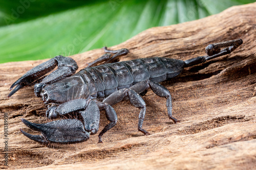 Flat Rock Scorpion, Hadogenes troglodytes, on a piece of tree bark Canvas Print
