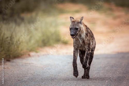 Deurstickers Hyena Spotted hyaena running in front view in Kruger National park, South Africa ; Specie Crocuta crocuta family of Hyaenidae