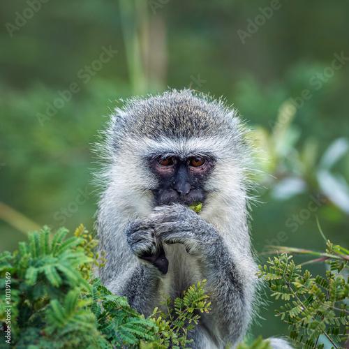 Fényképezés Vervet monkey eating some leaves in Kruger National park, South Africa ; Specie